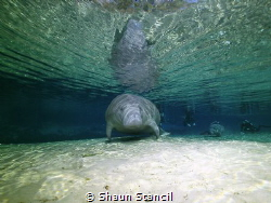 Weeki Wachee Spring, FL.  Manatee show up at the end of d... by Shaun Stancil